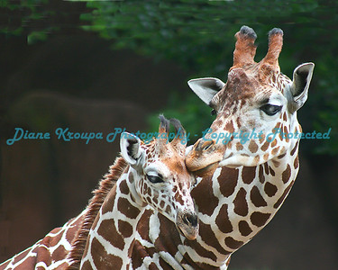 Mom Giraffe and ten day old baby boy. St. Louis Zoo. Photo #555