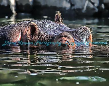 Hippo      Photo #1422