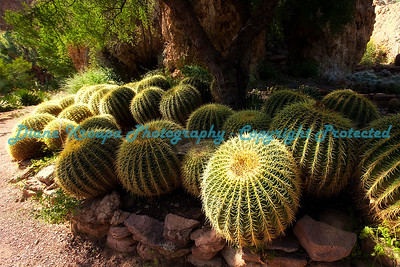 Cluster of Barrel Cactus at Boyce thompson Aboretum in Florence, Arizona.  Photo #BT-100