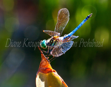 Dragonfly - Blue Dasher on leaf.  Photo #D111