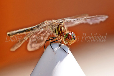 Dragonfly on water post.  Photo #D375