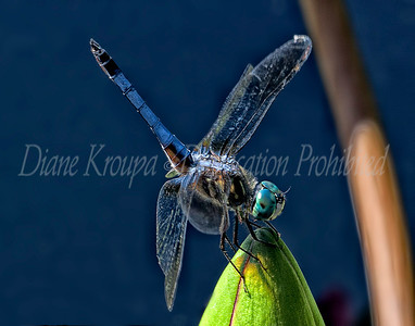 Dragonfly - Blue Dasher on Green Lily Bud.  Photo D112