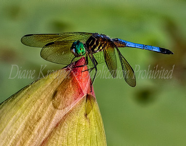 Dragonfly - Blue Dasher.  Photo #D109