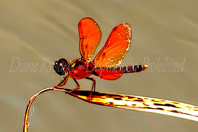 Red Dragonfly near lily pond.  Photo #D384