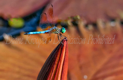 Green Headed Dragonfly on Red lily at Missouri Botanical Garden.  Photo #108