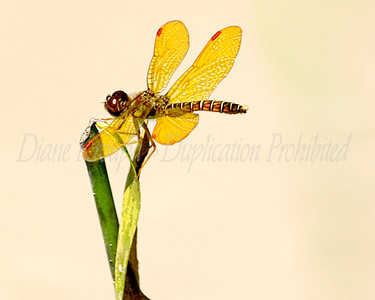 Yellow Dragonfly at  Missouri Botanical Garden.  Photo #D102
