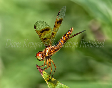 Dragonfly - Golden Tail Rings.  Photo D110