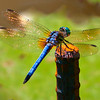 Blue Bodied Dragonfly at Tower Grove Park.  Photo #D104