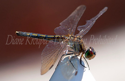 Dragonfly at Missouri Botanical Garden.  Photo #D101