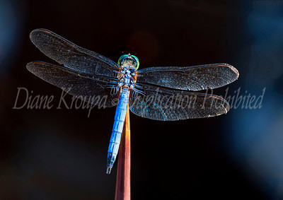Blue Dragonfly at Missouri Botanical Garden.  Photo #D106