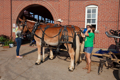 Mule Team unhitching Tim and Terry - Missouri State Fair 2018 - Photo 554