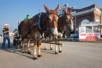 Mizzou Mules and Mule team at Missouri State Fair 2018 - Photo 541