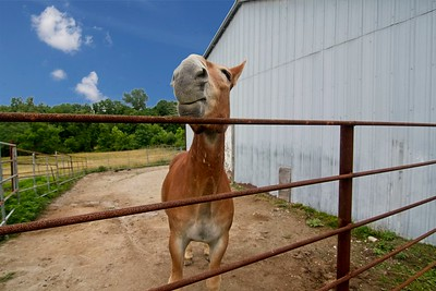 Terry (draft mule) at his home at Missouri University 2018 - Photo - 666