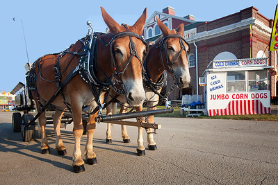 Tim and Terry (draft mules) morning exise at Missouri State Fair 2018 - Photo 541