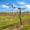 Vineyards at Twin Oaks Winery - Farmington, Missouri - still asleep  Photo# 8422