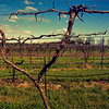 Vineyard at Twin Oaks Winery - Farmington, Missouri - still asleep.  Photo# 8416