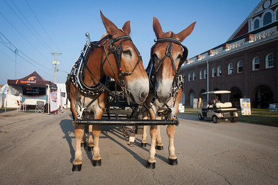 Terry and Tim (draft mules) morning exercise at Missouri State Fair 2018 - Photo 544