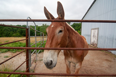 Terry (draft Mule) at his home at Missouri University 2018 - Photo 686