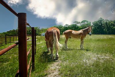 Tim and Terry (Draft Mules) living at University of Missouri - Columbia  Photo - 34