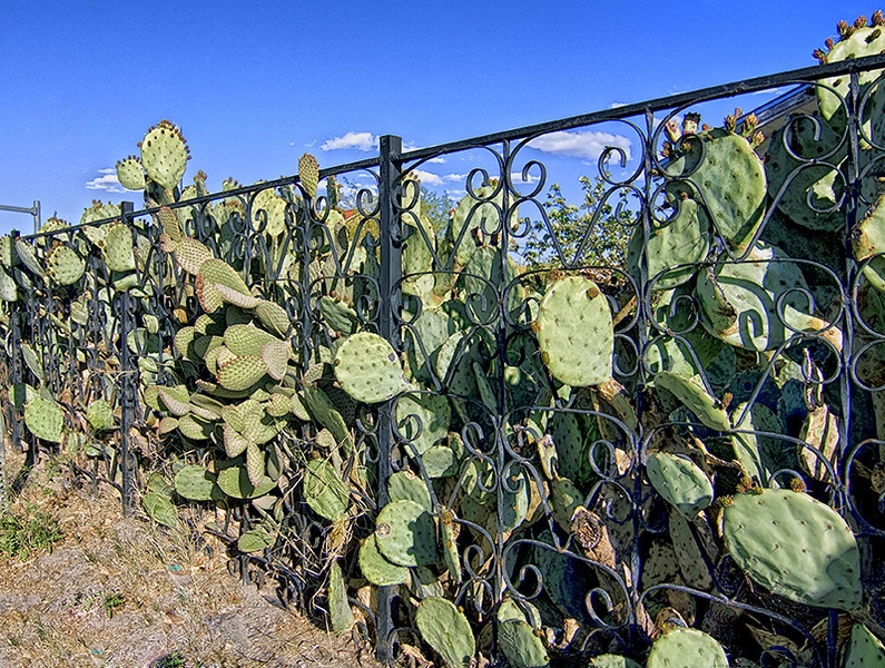 Mesilla, New Mexico, tall cactus fence.  Photo #NM-112