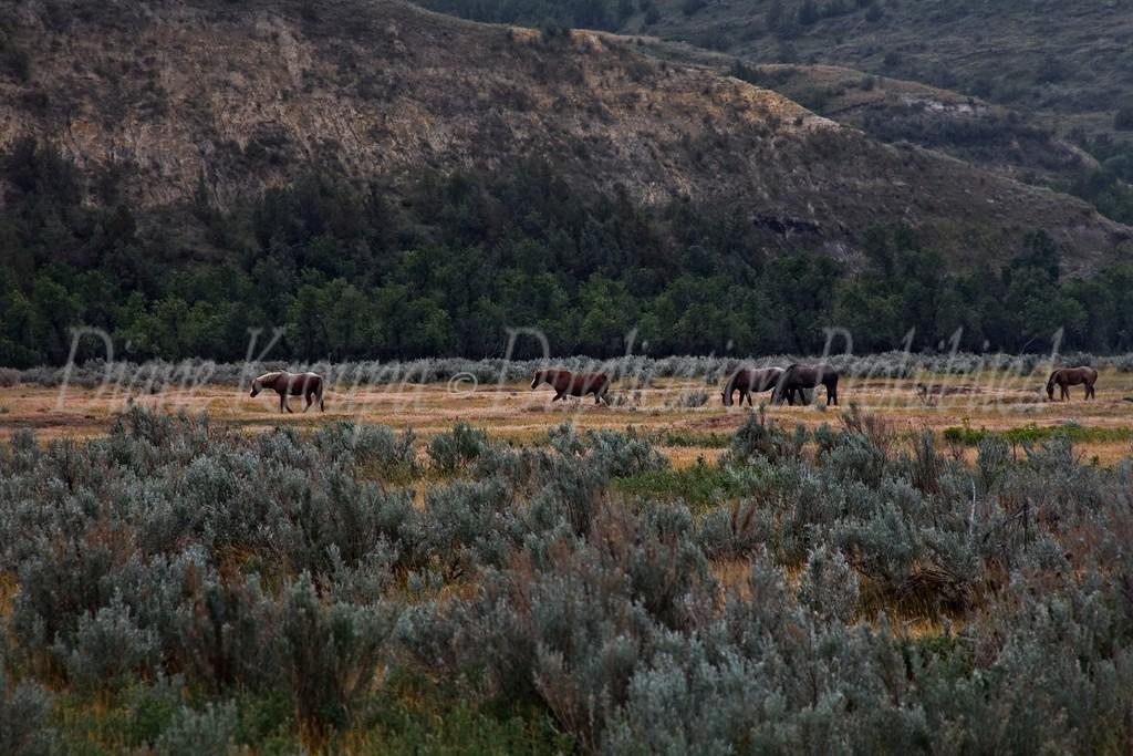 Theodoroe Roosevelt National Park, wild horses near Caprock Coulee  Nature Trail, North Dakota.  Photo# 80