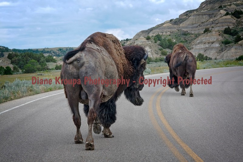 Male Buffalo taking a leisurely walk down the middle of the road through Theodore Roosevelt National Park, North Dakota.  Photo# 2