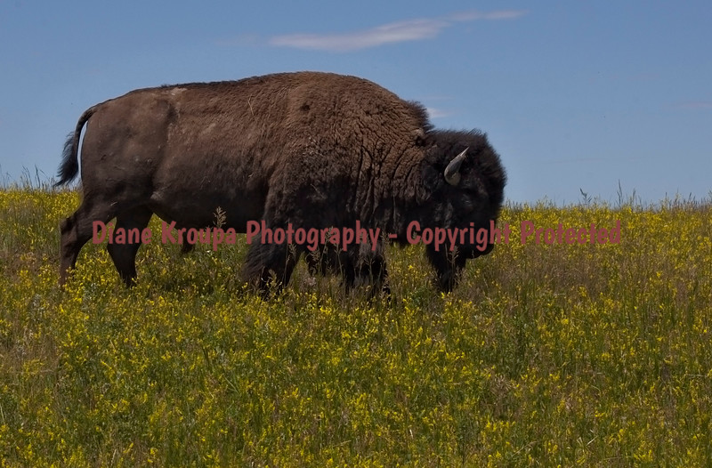 American Buffalo at Theodore Roosevelt National Park, Medora, North Dakota.  Photo# 72