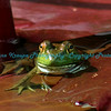 Lilly Pad Frog