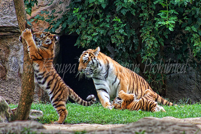 Momma Amur Tiger (siberian) and her babies playing.  Photo #221