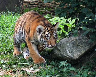 Amur Tiger Cub - 4 months old - stalking.  St. Louis Zoo.  Photo #1303