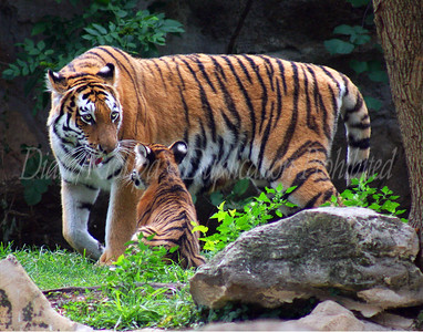 Momma Amur Tiger and her 4 month old cub. Photo #T300