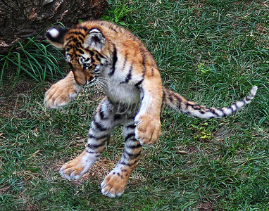 Baby Amur Tiger - 4 months Old - St. Louis Zoo.  Photo #569