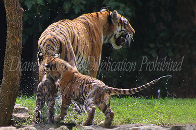 Four month old Amur tiger cub still soaking wet from a swim wants to play with Mom.  Photo #218