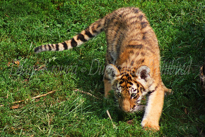 Four month old Amur (Siberian) tiger cub stalking at the St. Louis Zoo.  Photo #236