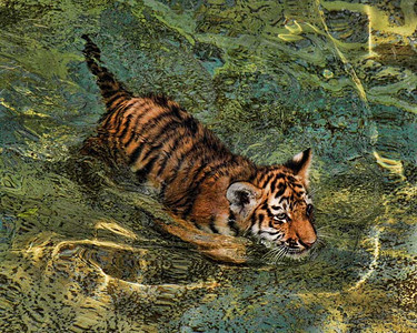 Amur Tiger Cub - 4 1/2 months old.  Photo #1419