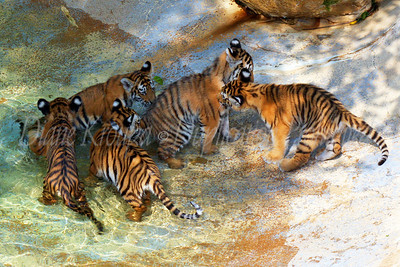 All five four month old Amur-Siberian Tiger Cubs playing in the water at the St. Louis Zoo.