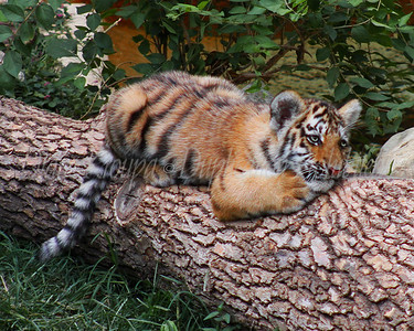 Amur Tiger Cub - 4 months old - St. Louis Zoo.  Photo #1301