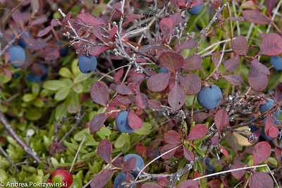 Fall Blueberries