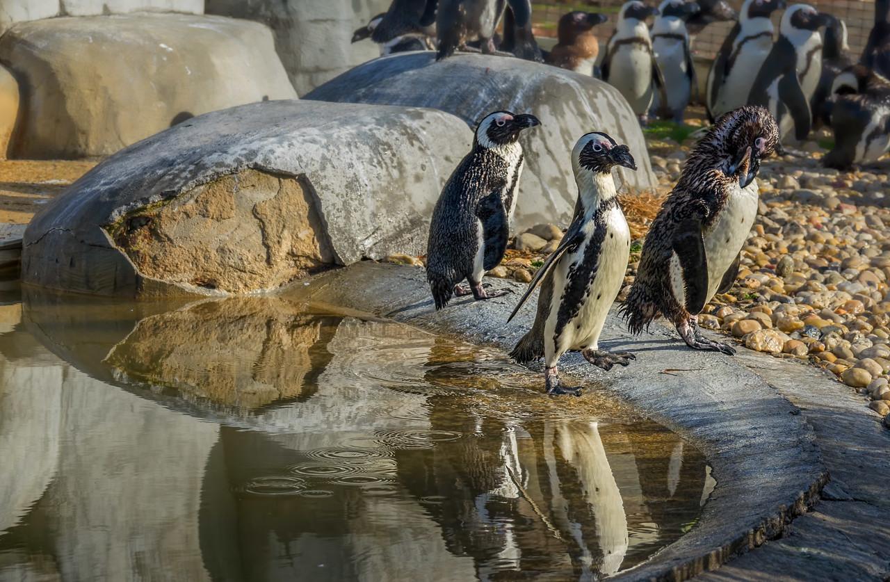 African Penguin  SLW