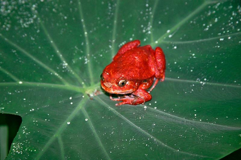 Tomato frog, Madagascar