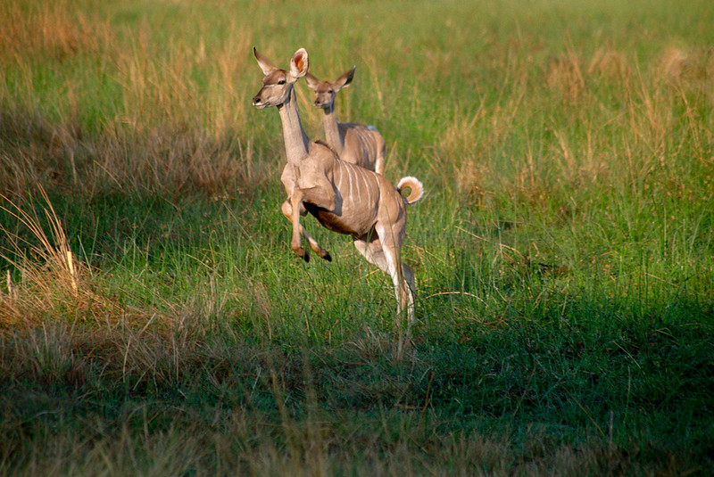 Fleeing kudus (female), floodplains of  Moremi Game Reserve, Botswana