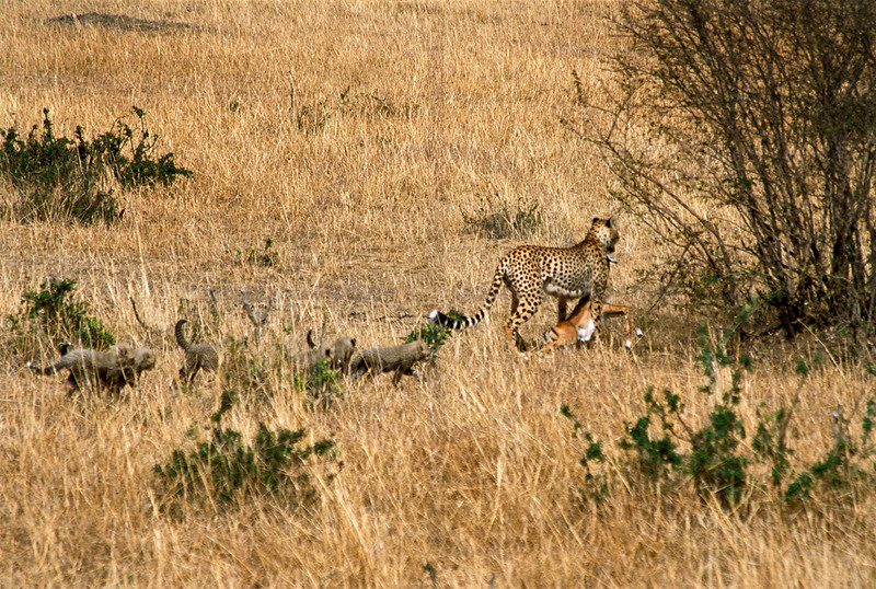 Cheetah mother and cubs with impala kill, Masai Mara National Reserve, Kenya