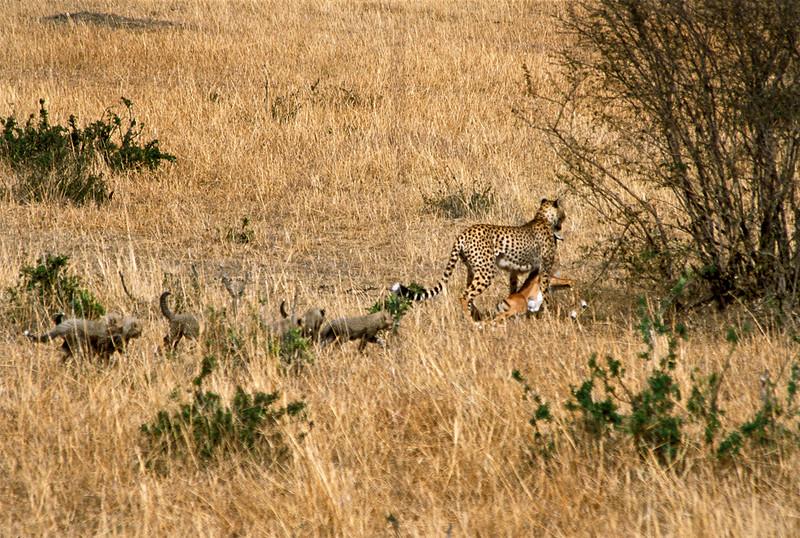 Cheetah mother and cubs with impala kill, Masai Mara National Reserve, Kenya