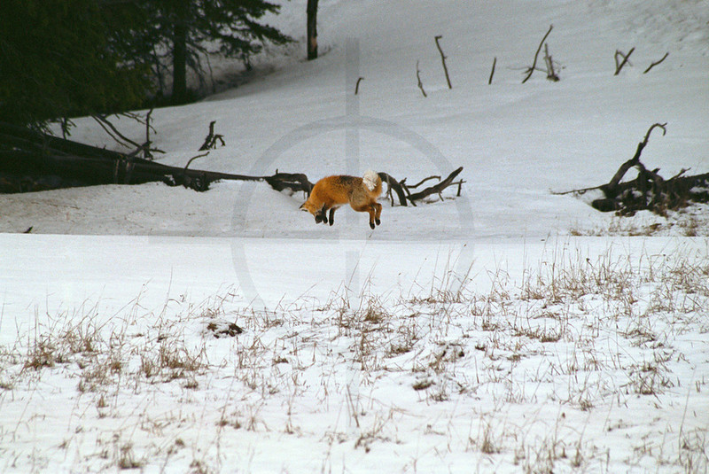 Red fox jumping to catch a shrew or vole under the snow, Yellowstone National Park, United Sates