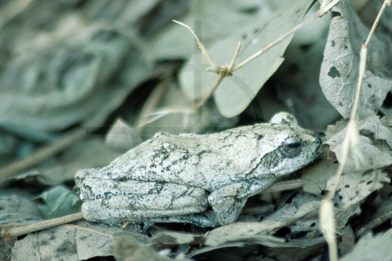 Southern foam-nest frog, South Luangwa National Park, Zambia