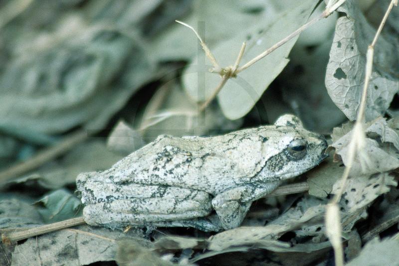 Southern foam-nest frog, South Luangwa National Park, Zambia