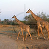 Pair of Masai giraffe, South Luangwa National Park, Zambia
