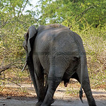 Elephant urinating, South Luangwa National Park, Zambia
