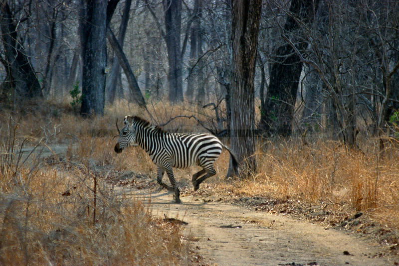 Zebra crossing a dirt road, Liwonde National Park, Malawi