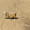Elegant grasshopper, Mozambique